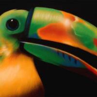 Nature_Keel-BilledToucan2_(FischerTukan2)_150x80_(2002)